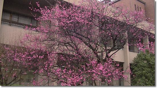 京大医学部構内に咲く梅